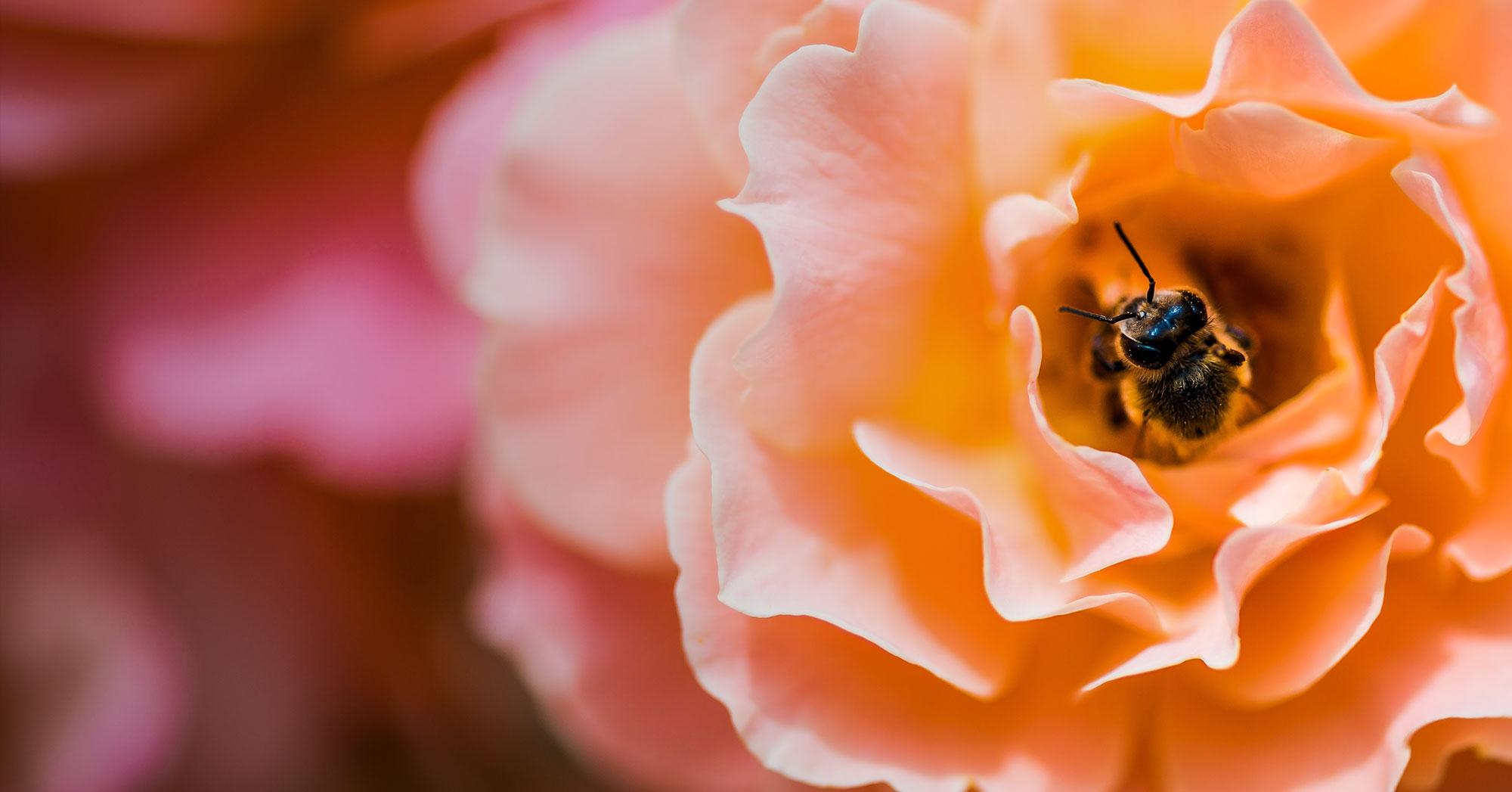 Growing Roses with Barossa Nursery
